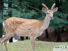 鹿血粉的功效与作用及适宜人群