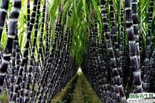 甘蔗的功效与作用及禁忌 甘蔗的营养价值