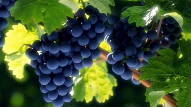 葡萄的六大养生功效