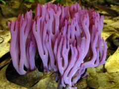 珊瑚菌的做法