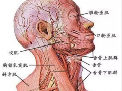 人体解析:人体肌肉解剖图